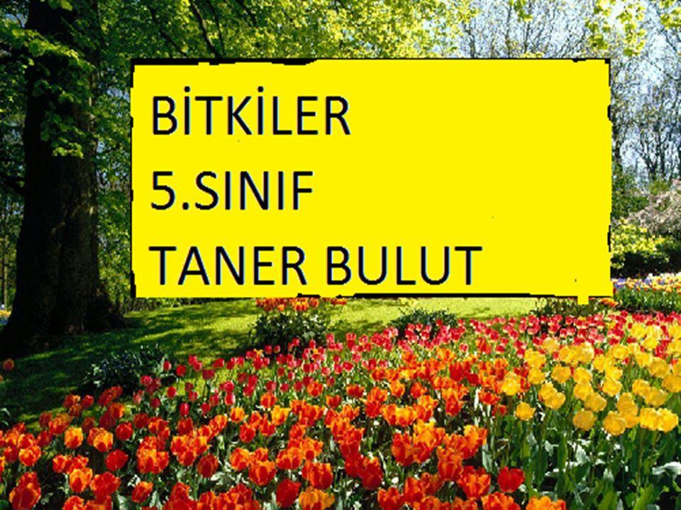  Yeşil renkli yapraklardır.  Çiçeği korur. ÇANAK YAPRAK