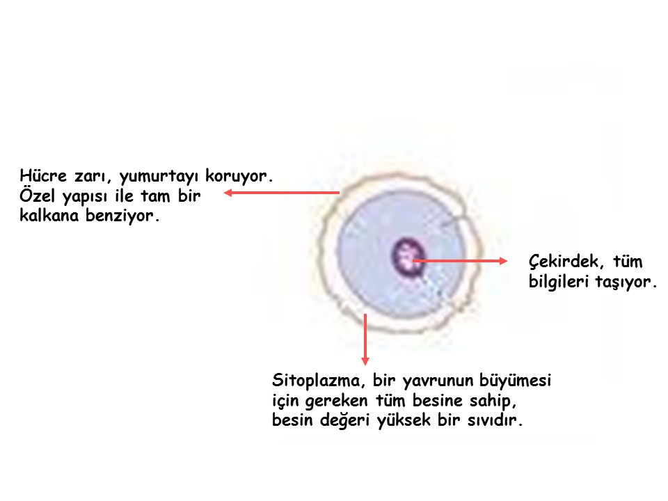 Hücre zarı, yumurtayı koruyor. Özel yapısı ile tam bir kalkana benziyor. Çekirdek, tüm bilgileri taşıyor. Sitoplazma, bir yavrunun büyümesi için gerek