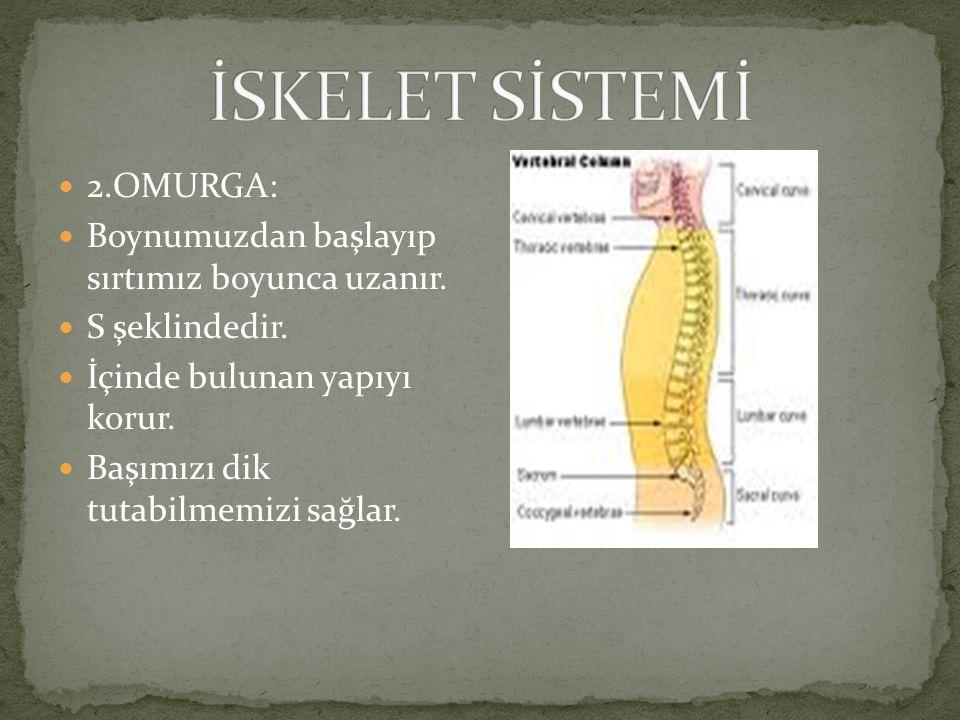 İskelet 4 temel kısımdan oluşur: 1.KAFATASI: Beynimizi darbelerden korur.
