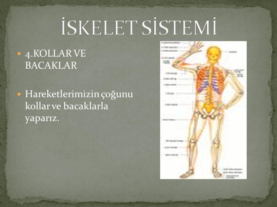 3.GÖĞÜS KAFESİ: Kalp, akciğer gibi hayati organları ve tüm iç organlarımızı korur. Kaburga kemiklerinden oluşur.