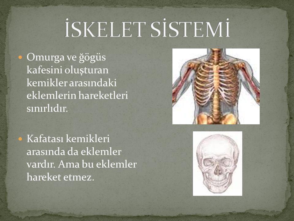 Omurga ve ğögüs kafesini oluşturan kemikler arasındaki eklemlerin hareketleri sınırlıdır.