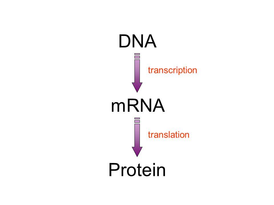 Doğumsal Metabolizma Kusurları l Bir proteini (enzim, taşıyıcı protein vb.) kodlayan DNA baz dizisinde, o proteinin primer yapısını (aa dizisi) değişt