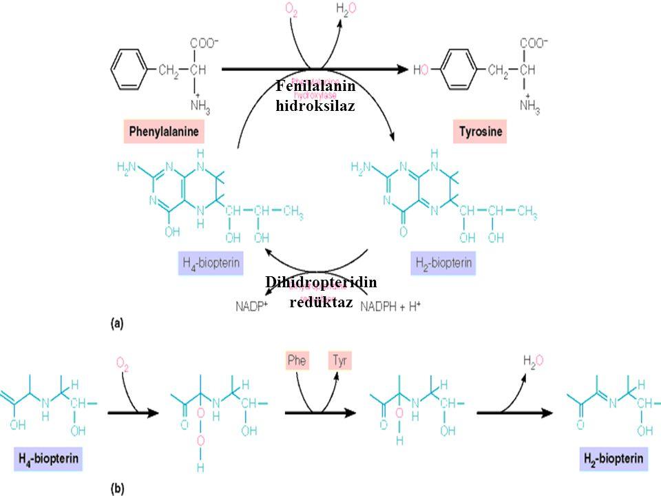 Hiperfenilalaninemiler l Fenilalanin metabolizmasının ana yolu anlamlı miktarda sadece karaciğerde ve böbrekte meydana gelir l Enzim: Fenilalanin hidr