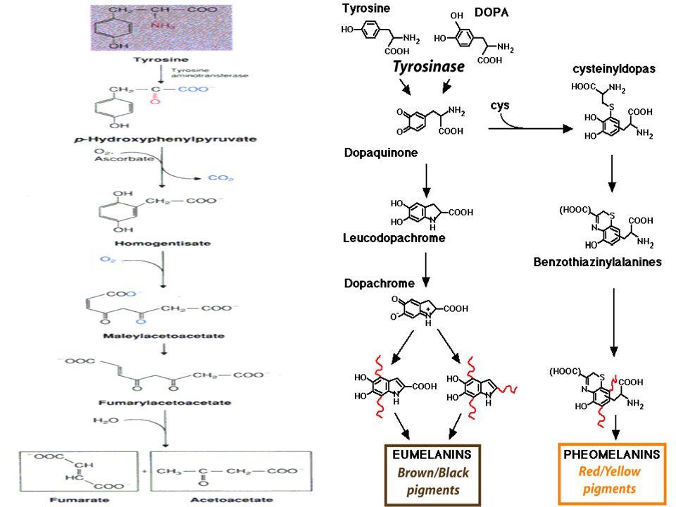 Tirozinemi l Tirozin metabolizmasının ana yolu PHPPA ve homogentisat oluşumudur l Alternatif yol DOPA, epinefrin dönüşümüdür