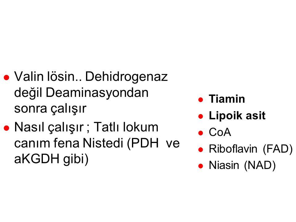LösinValinİzolösin Transaminasyon Oksidatif Dekarboksilasyon Dehidrojenasyon (tiamin) Asetoasetat Propionil CoA Asetil CoA Metil malonil CoA B12 Süksi