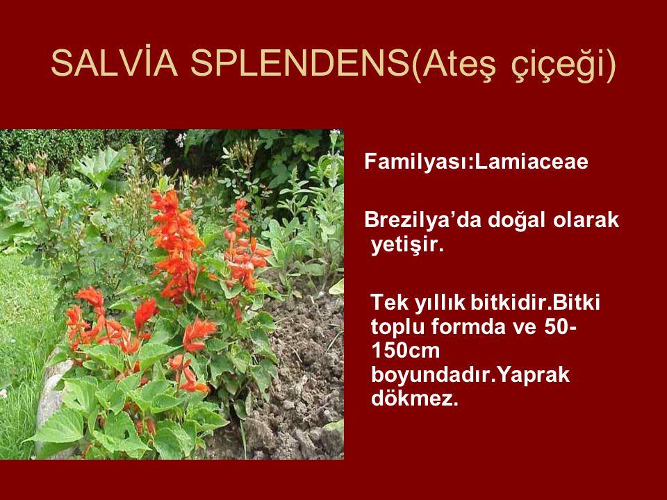 SALVİA SPLENDENS(Ateş çiçeği) Familyası:Lamiaceae Brezilya'da doğal olarak yetişir. Tek yıllık bitkidir.Bitki toplu formda ve 50- 150cm boyundadır.Yap