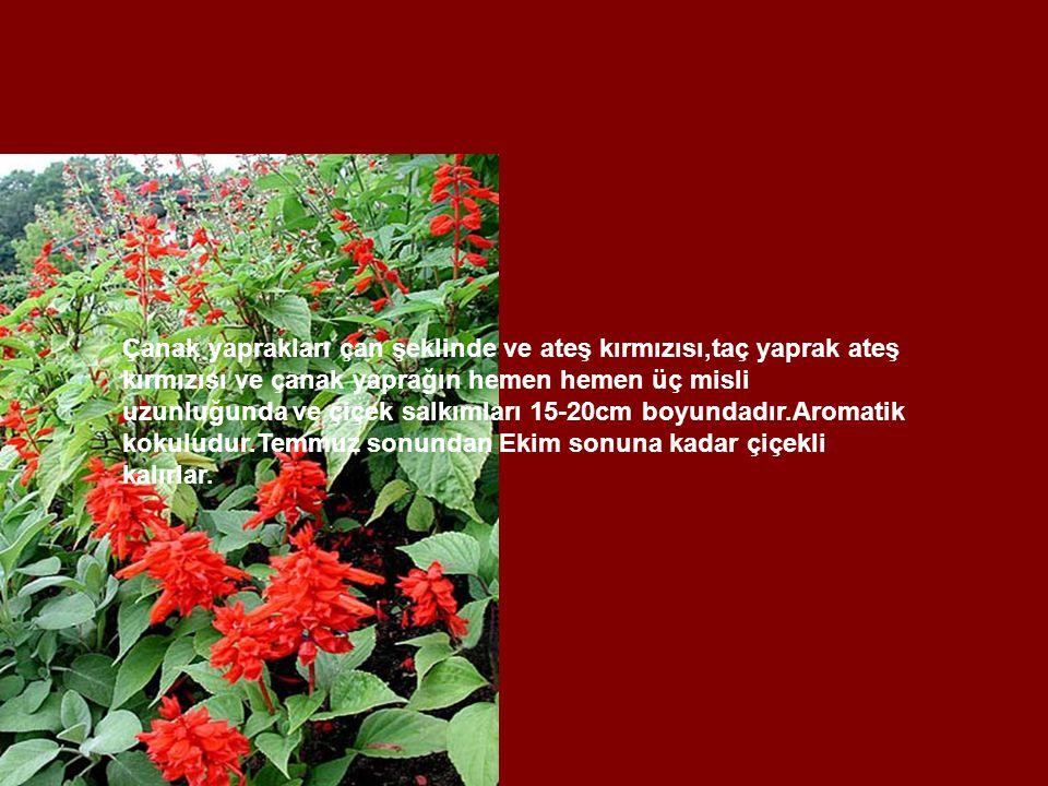 Çanak yaprakları çan şeklinde ve ateş kırmızısı,taç yaprak ateş kırmızısı ve çanak yaprağın hemen hemen üç misli uzunluğunda ve çiçek salkımları 15-20