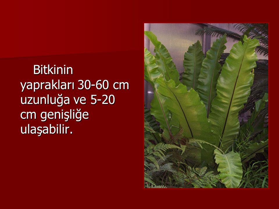 Bitkinin yaprakları 30-60 cm uzunluğa ve 5-20 cm genişliğe ulaşabilir. Bitkinin yaprakları 30-60 cm uzunluğa ve 5-20 cm genişliğe ulaşabilir.