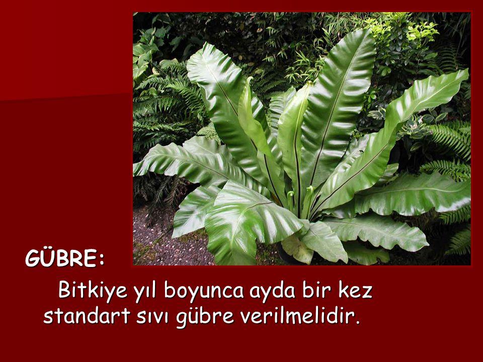 GÜBRE: GÜBRE: Bitkiye yıl boyunca ayda bir kez standart sıvı gübre verilmelidir. Bitkiye yıl boyunca ayda bir kez standart sıvı gübre verilmelidir.