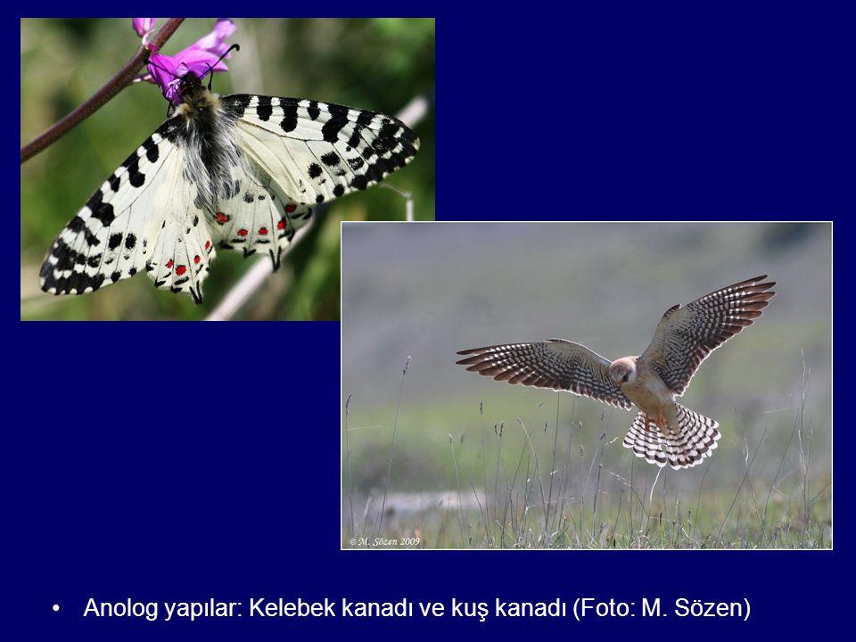 Anolog yapılar: Kelebek kanadı ve kuş kanadı (Foto: M. Sözen)