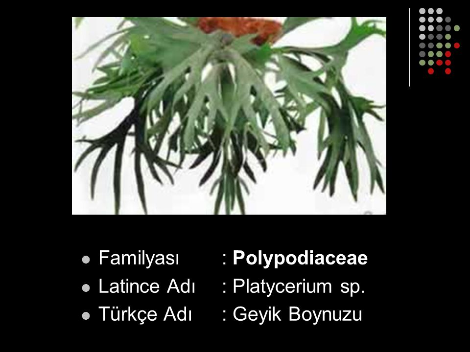 Familyası: Polypodiaceae Latince Adı: Platycerium sp. Türkçe Adı: Geyik Boynuzu