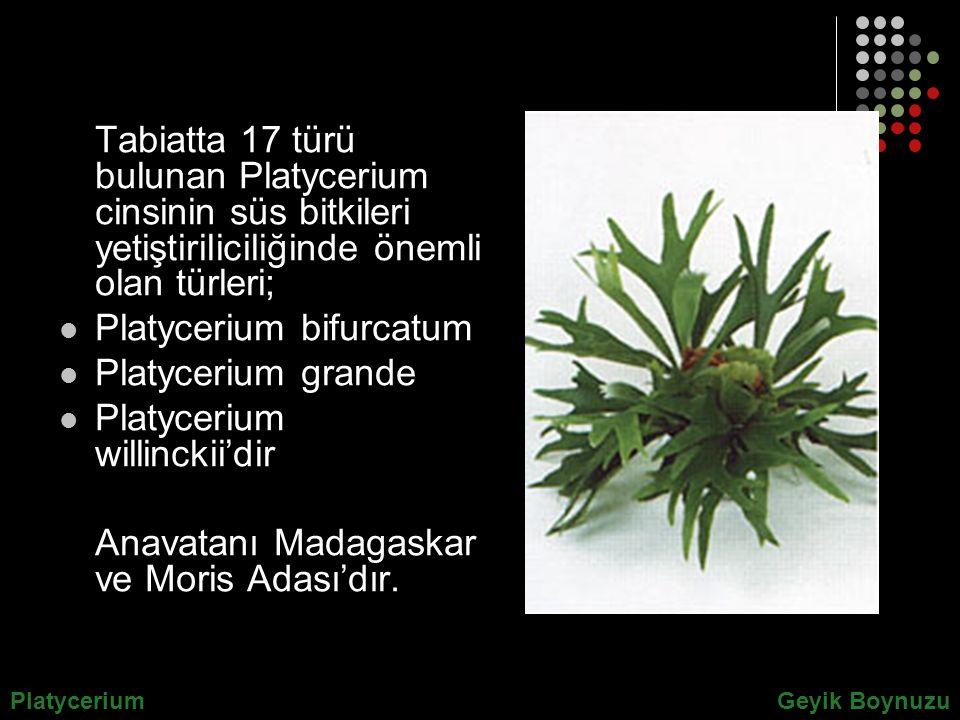 Tabiatta 17 türü bulunan Platycerium cinsinin süs bitkileri yetiştiriliciliğinde önemli olan türleri; Platycerium bifurcatum Platycerium grande Platyc