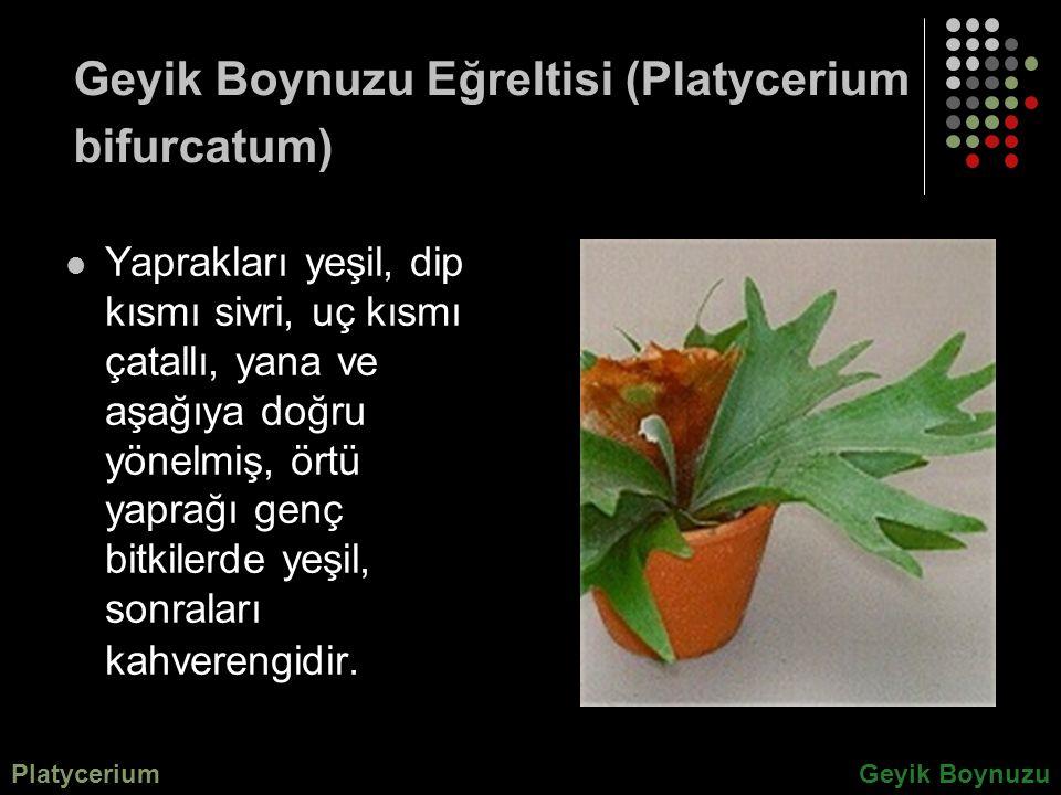 Geyik Boynuzu Eğreltisi (Platycerium bifurcatum) Yaprakları yeşil, dip kısmı sivri, uç kısmı çatallı, yana ve aşağıya doğru yönelmiş, örtü yaprağı gen