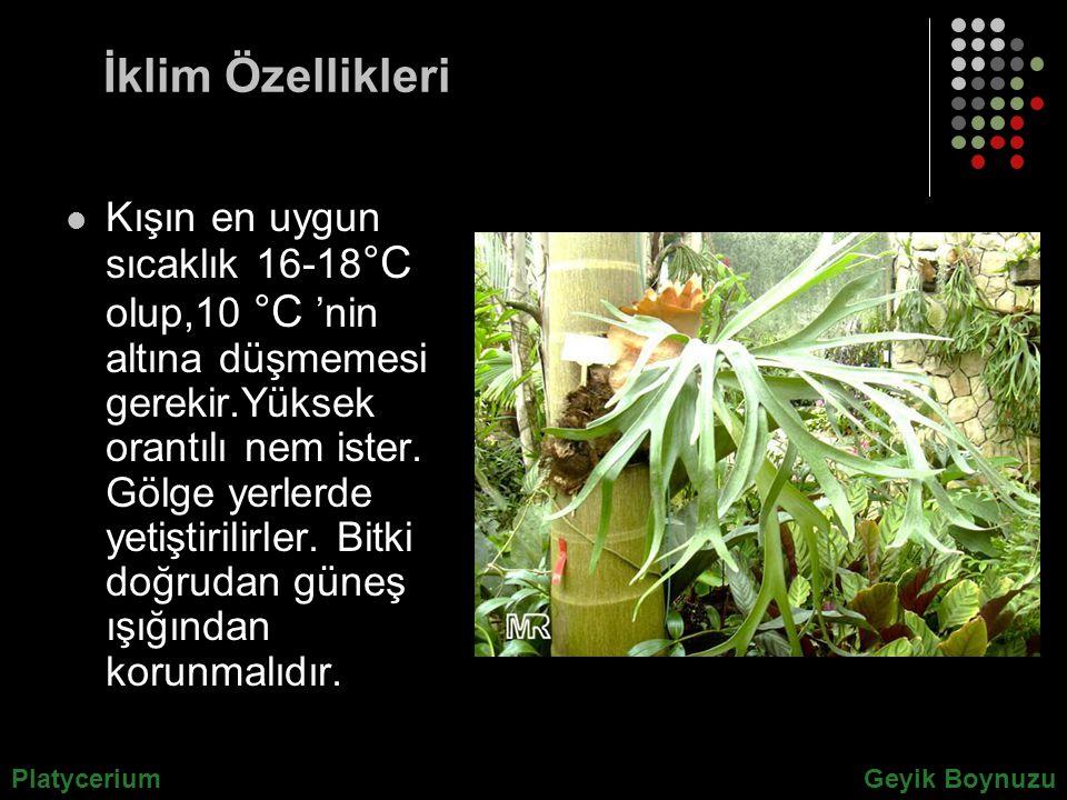 İklim Özellikleri Kışın en uygun sıcaklık 16-18 °C olup,10 °C 'nin altına düşmemesi gerekir.Yüksek orantılı nem ister. Gölge yerlerde yetiştirilirler.