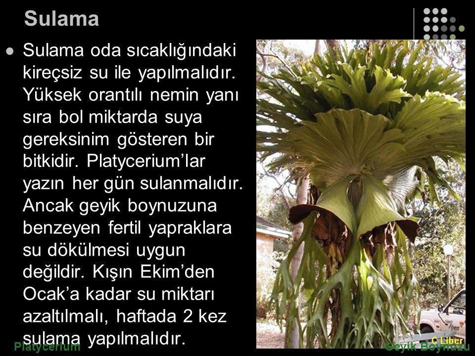 Sulama Sulama oda sıcaklığındaki kireçsiz su ile yapılmalıdır. Yüksek orantılı nemin yanı sıra bol miktarda suya gereksinim gösteren bir bitkidir. Pla