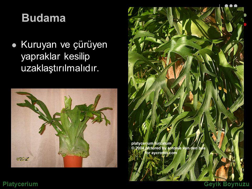 Budama Kuruyan ve çürüyen yapraklar kesilip uzaklaştırılmalıdır. PlatyceriumGeyik Boynuzu
