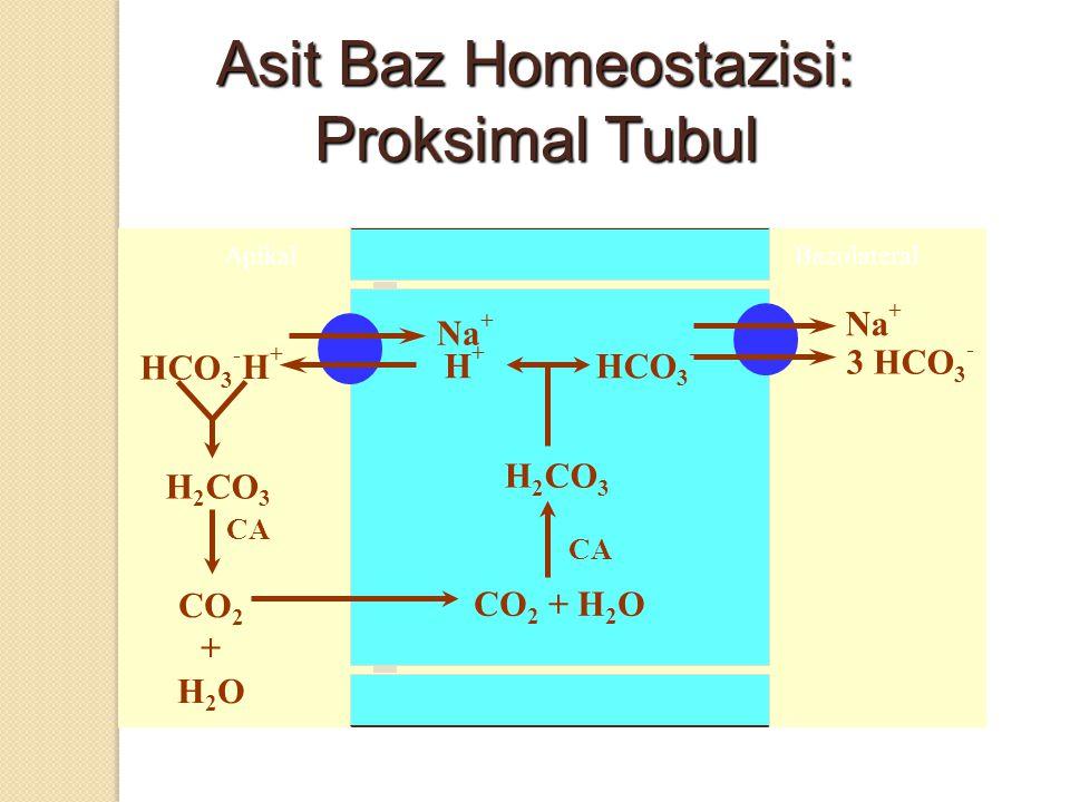 3 HCO 3 - Na + Asit Baz Homeostazisi: Proksimal Tubul ApikalBazolateral Na + HCO 3 - CA CO 2 + H 2 O CO 2 + H 2 O H 2 CO 3 CA H+H+ HCO 3 - H+H+ H 2 CO