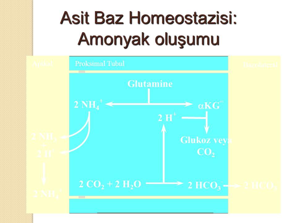 Asit Baz Homeostazisi: Amonyak oluşumu Apikal Bazolateral Glutamine 2 HCO 3 - 2 NH 4 +  KG = 2 CO 2 + 2 H 2 O 2 H + 2 HCO 3 - Glukoz veya CO 2 2 NH 3