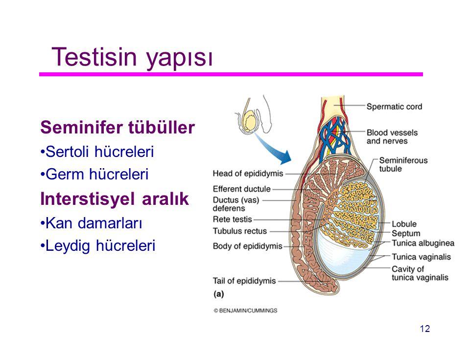 Testisin yapısı Seminifer tübüller Sertoli hücreleri Germ hücreleri Interstisyel aralık Kan damarları Leydig hücreleri 12