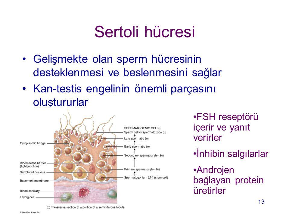 Sertoli hücresi Gelişmekte olan sperm hücresinin desteklenmesi ve beslenmesini sağlar Kan-testis engelinin önemli parçasını oluştururlar FSH reseptörü