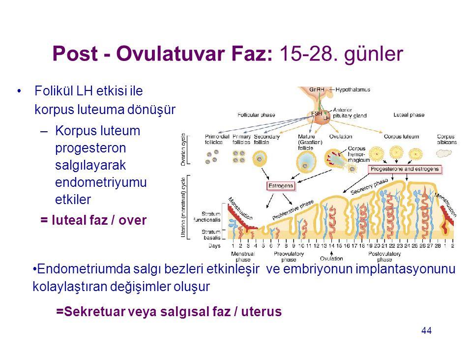 Post - Ovulatuvar Faz: 15-28. günler Folikül LH etkisi ile korpus luteuma dönüşür –Korpus luteum progesteron salgılayarak endometriyumu etkiler = lute