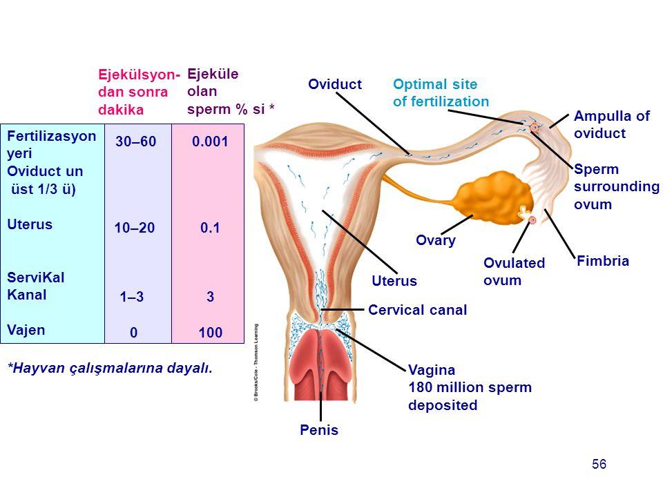 OviductOptimal site of fertilization Ampulla of oviduct Sperm surrounding ovum Fimbria Ovulated ovum Ovary Uterus Cervical canal Vagina 180 million sp