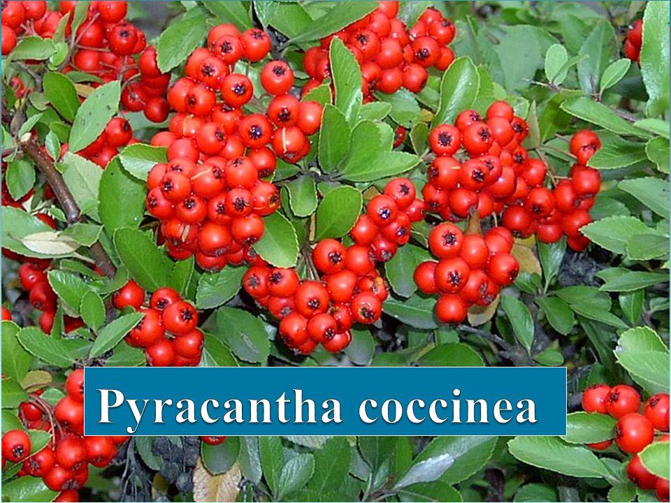 Bilimsel Sınıflandırma Alem : Plantea Şube : Magnoliophyta Sınıf : Magnoliopsida Takım : Rosales Familya : Rosaceae Botanik Adı : Pyracantha Türkçe Adı : Ateş dikeni