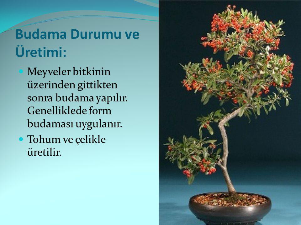 Budama Durumu ve Üretimi: Meyveler bitkinin üzerinden gittikten sonra budama yapılır. Genelliklede form budaması uygulanır. Tohum ve çelikle üretilir.