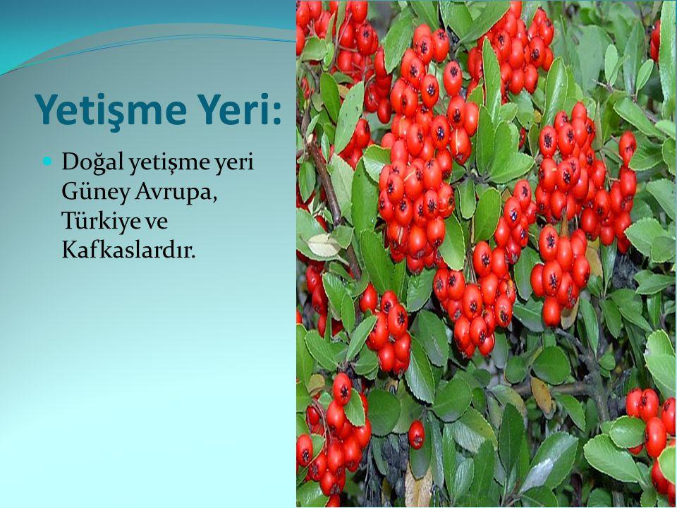 Budama Durumu ve Üretimi: Meyveler bitkinin üzerinden gittikten sonra budama yapılır.