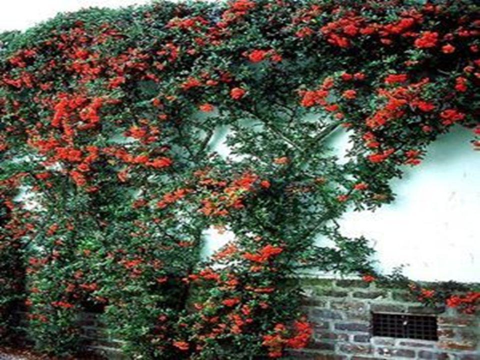 Park ve bahçe düzenlemelerinde: Engel, sınır bitkisi olarak kullanılabilir.
