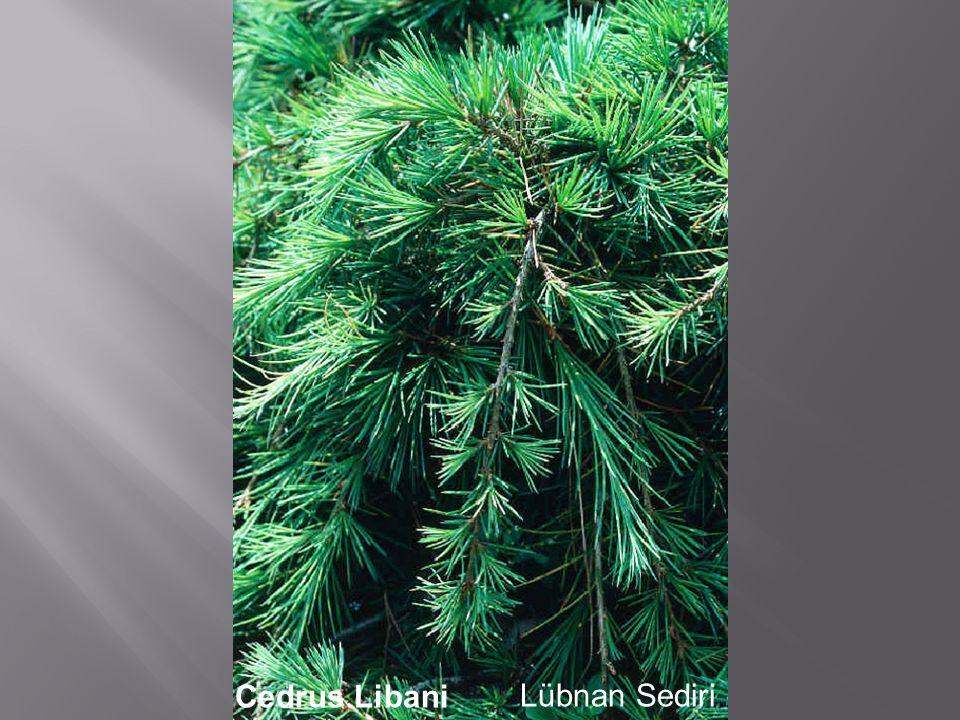 Cedrus LibaniLübnan Sediri