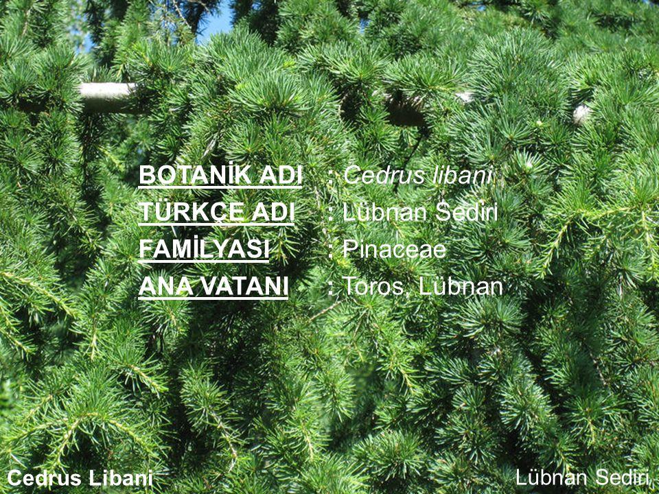 BOTANİK ADI: Cedrus libani TÜRKÇE ADI: Lübnan Sediri FAMİLYASI: Pinaceae ANA VATANI: Toros, Lübnan Cedrus LibaniLübnan Sediri