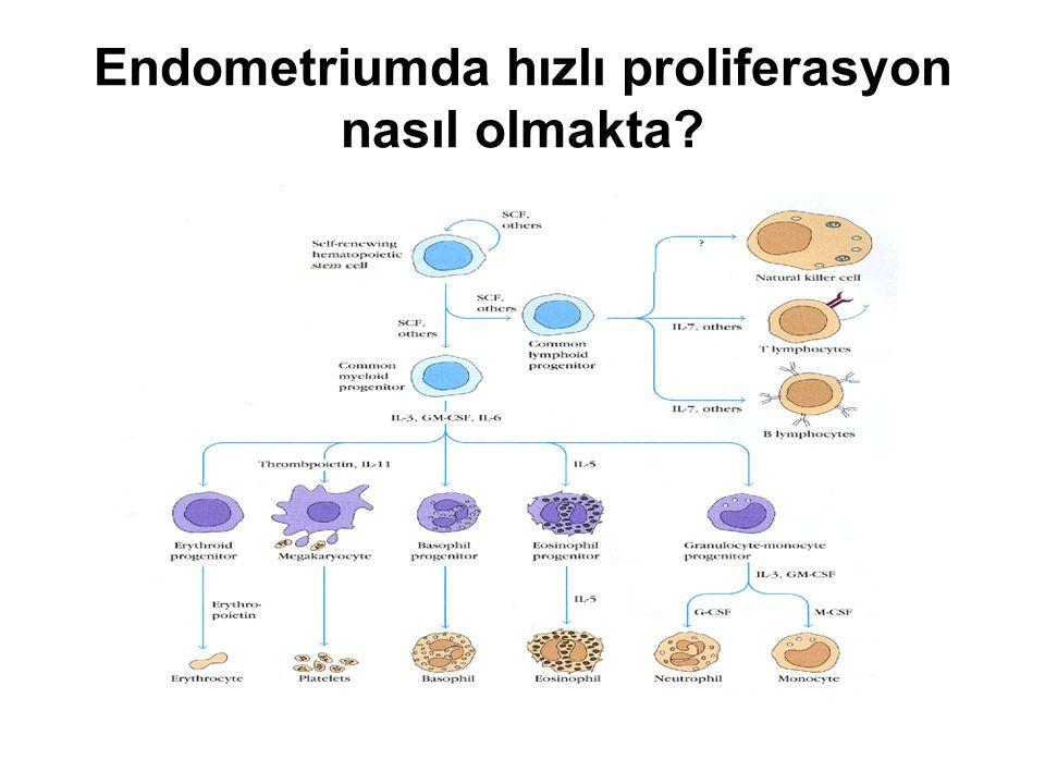 Endometriumda hızlı proliferasyon nasıl olmakta?