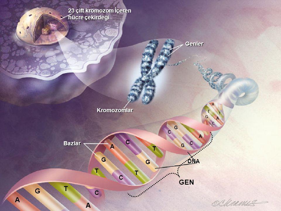 23 çift kromozom İçeren hücre çekirdeği Kromozomlar DNA Bazlar Genler A G T A C G T A C G C T T C G G C A G C A T T A GEN