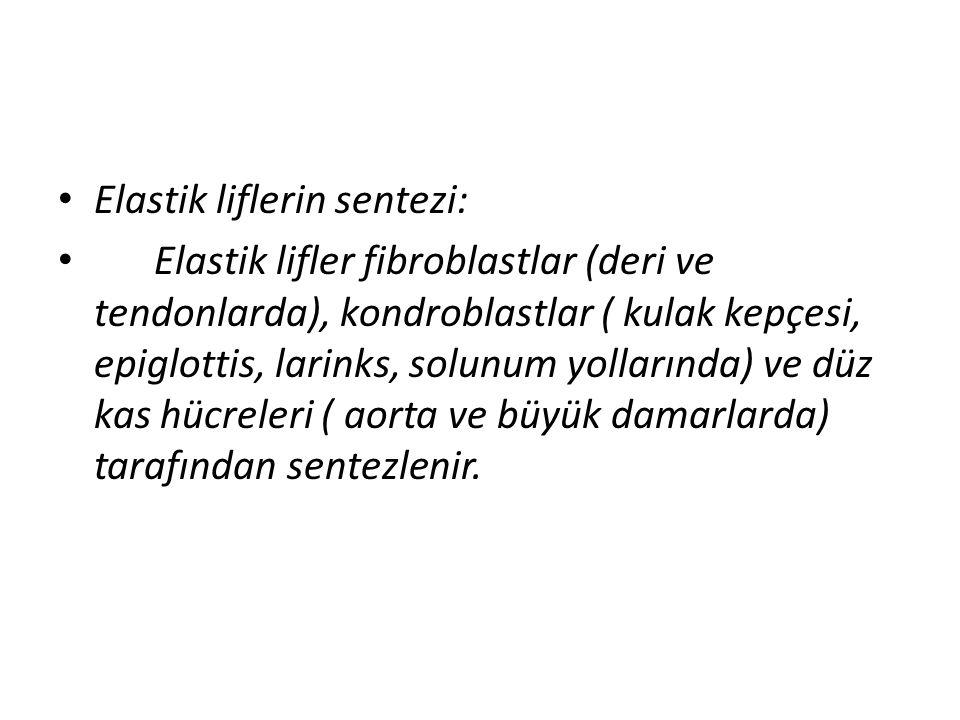 • Elastik liflerin sentezi: • Elastik lifler fibroblastlar (deri ve tendonlarda), kondroblastlar ( kulak kepçesi, epiglottis, larinks, solunum yolları
