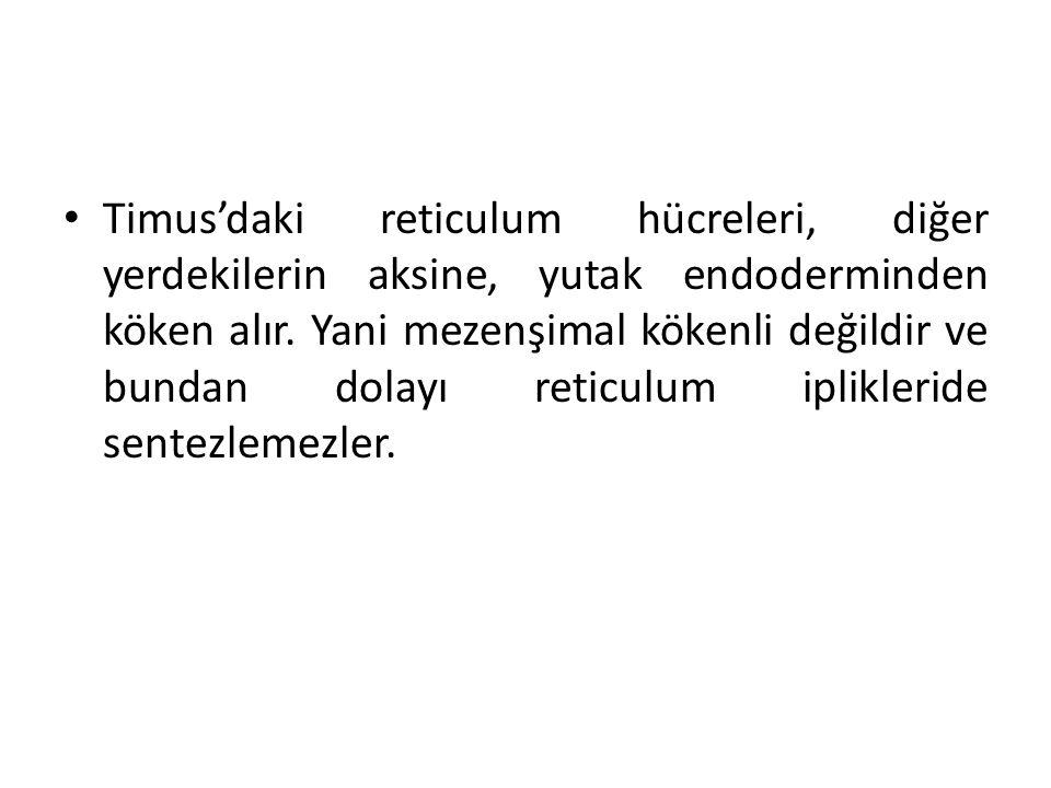 • Timus'daki reticulum hücreleri, diğer yerdekilerin aksine, yutak endoderminden köken alır. Yani mezenşimal kökenli değildir ve bundan dolayı reticul