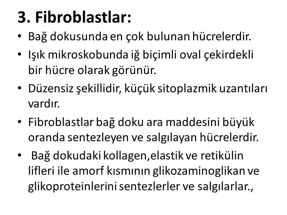 3. Fibroblastlar: • Bağ dokusunda en çok bulunan hücrelerdir. • Işık mikroskobunda iğ biçimli oval çekirdekli bir hücre olarak görünür. • Düzensiz şek