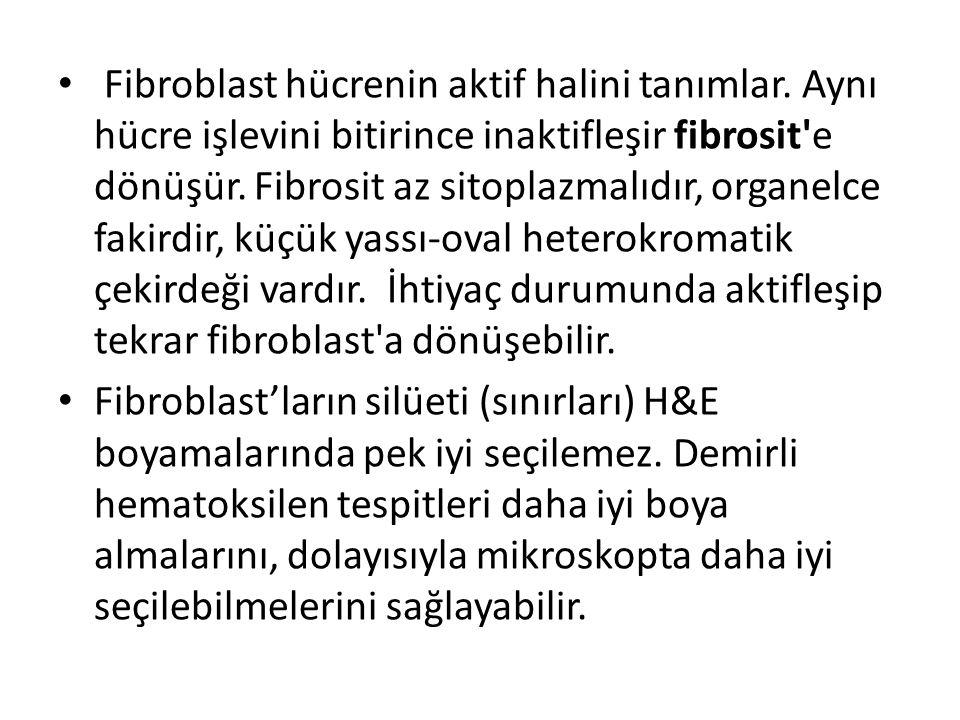 • Fibroblast hücrenin aktif halini tanımlar. Aynı hücre işlevini bitirince inaktifleşir fibrosit'e dönüşür. Fibrosit az sitoplazmalıdır, organelce fak