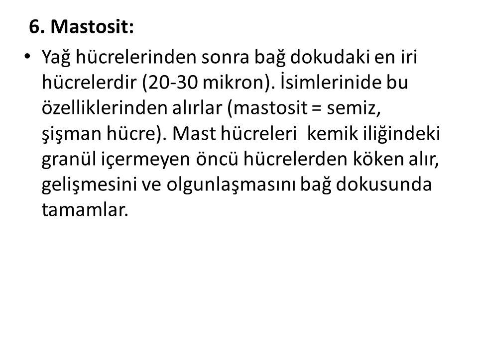 6. Mastosit: • Yağ hücrelerinden sonra bağ dokudaki en iri hücrelerdir (20-30 mikron). İsimlerinide bu özelliklerinden alırlar (mastosit = semiz, şişm