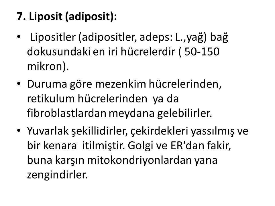 7. Liposit (adiposit): • Lipositler (adipositler, adeps: L.,yağ) bağ dokusundaki en iri hücrelerdir ( 50-150 mikron). • Duruma göre mezenkim hücreleri