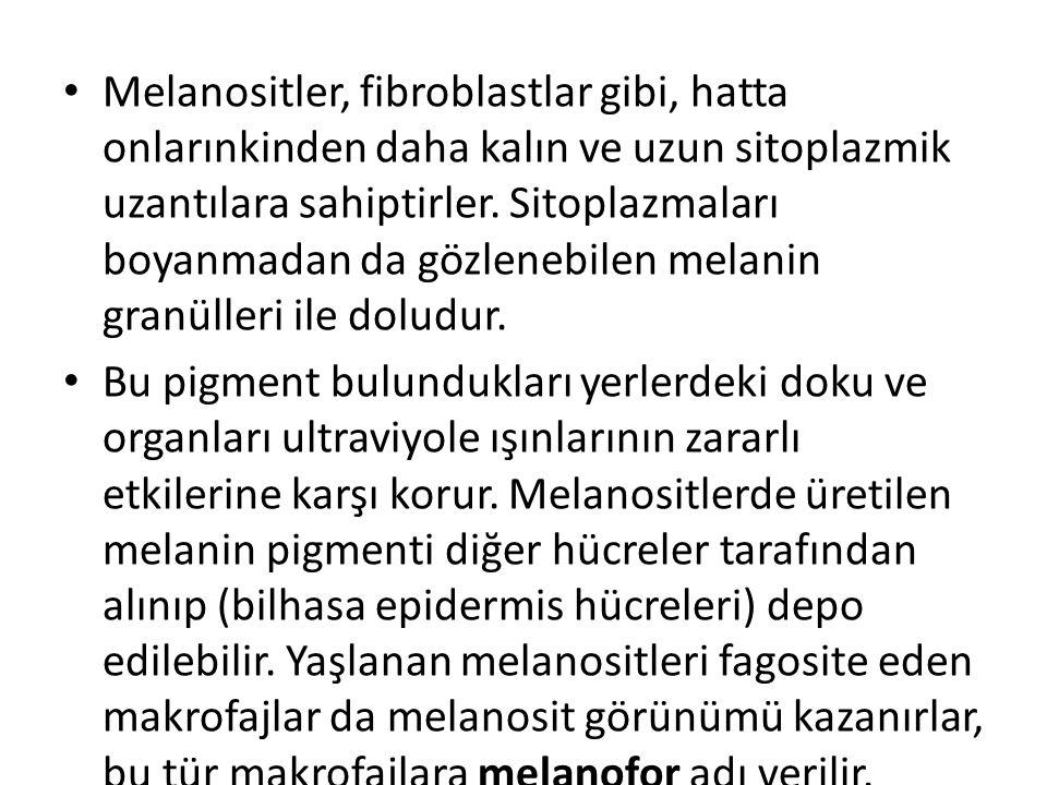 • Melanositler, fibroblastlar gibi, hatta onlarınkinden daha kalın ve uzun sitoplazmik uzantılara sahiptirler. Sitoplazmaları boyanmadan da gözlenebil