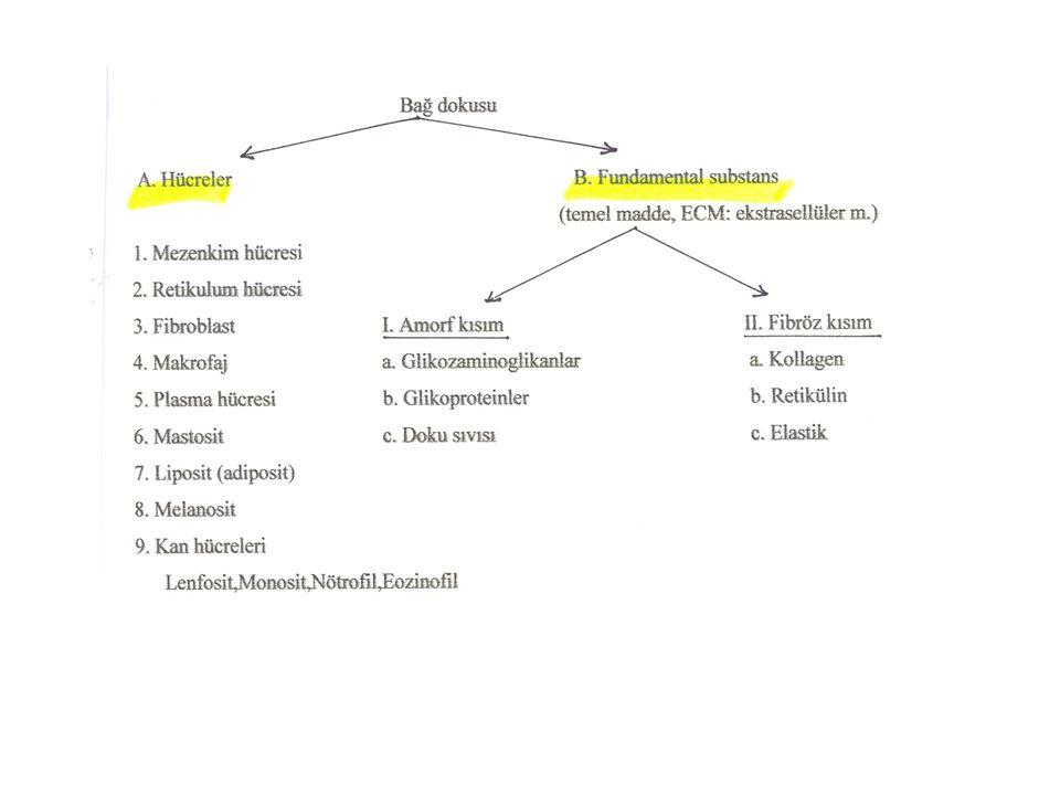 • Bağ dokusunda: Makrofaj • Karaciğer de : Kupfer in yıldız hücresi • Akciğer de : Alveoler makrofaj • Dalak ta : Sabit ya da serbest makrofaj • Kemik iliği nde: Makrofaj • Kemik dokuda: Osteoklast • Kıkırdak dokuda: Kondroklast • Pleura da: Pleural makrofaj • Periton da: Peritoneal makrofaj • Sinir sistemi nde: Mikrogliya • Deride: Langerhans hücreleri