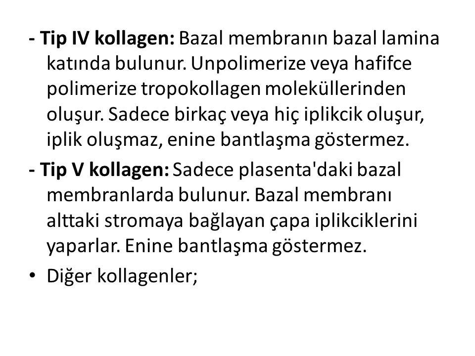 - Tip IV kollagen: Bazal membranın bazal lamina katında bulunur. Unpolimerize veya hafifce polimerize tropokollagen moleküllerinden oluşur. Sadece bir