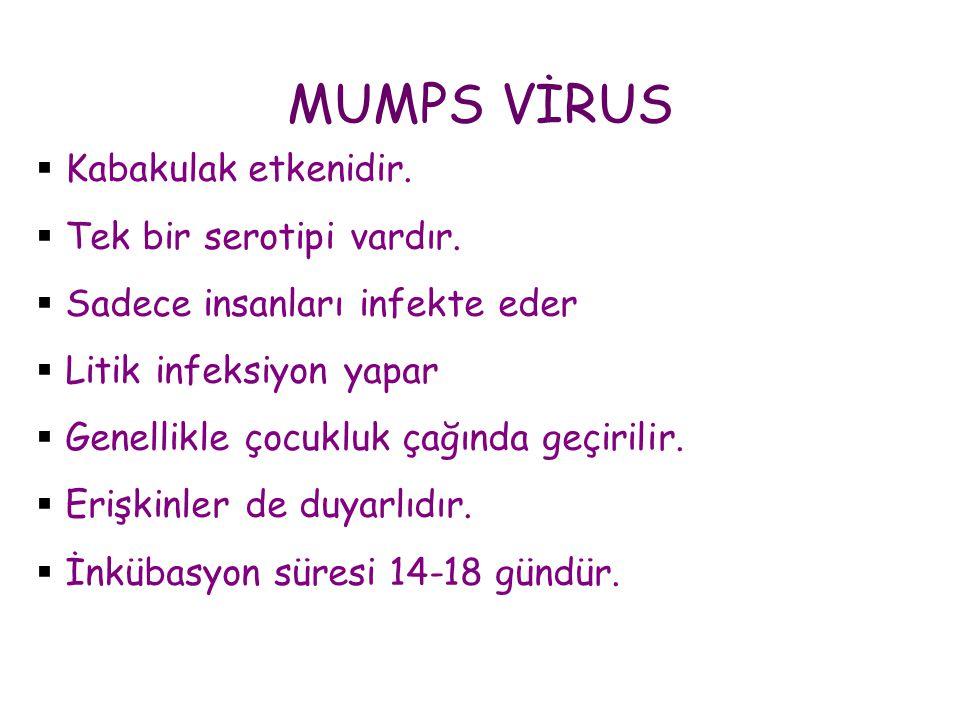 MUMPS VİRUS  Kabakulak etkenidir.  Tek bir serotipi vardır.  Sadece insanları infekte eder  Litik infeksiyon yapar  Genellikle çocukluk çağında g