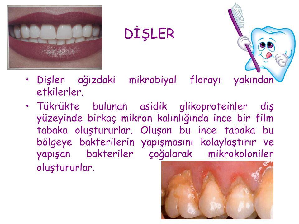 DİŞLER •Dişler ağızdaki mikrobiyal florayı yakından etkilerler. •Tükrükte bulunan asidik glikoproteinler diş yüzeyinde birkaç mikron kalınlığında ince