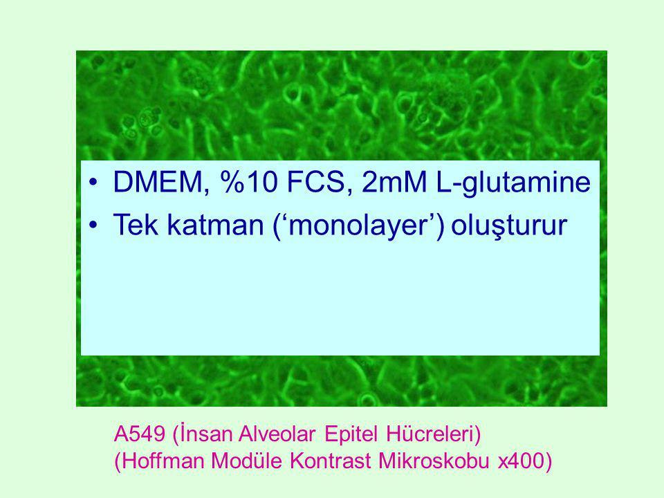 A549 (İnsan Alveolar Epitel Hücreleri) (Hoffman Modüle Kontrast Mikroskobu x400) •DMEM, %10 FCS, 2mM L-glutamine •Tek katman ('monolayer') oluşturur