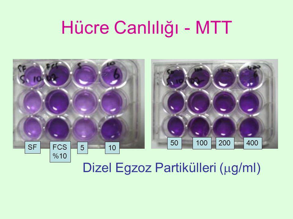 Hücre Canlılığı - MTT SF 50100200400 FCS %10 510 Dizel Egzoz Partikülleri (  g/ml)