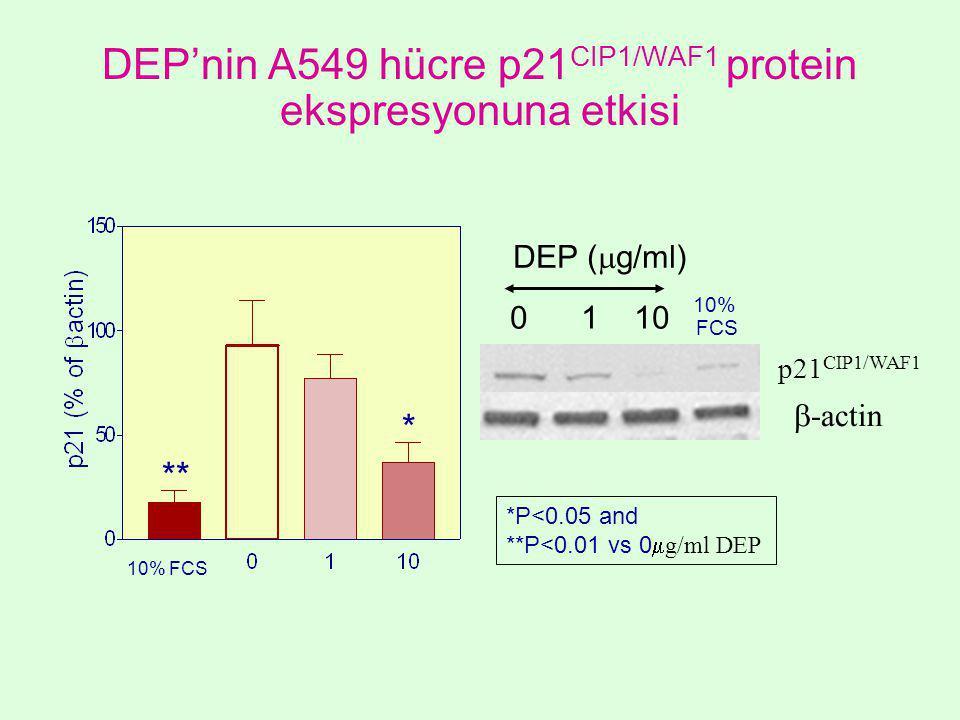 DEP'nin A549 hücre p21 CIP1/WAF1 protein ekspresyonuna etkisi  -actin p21 CIP1/WAF1 10% FCS 10% FCS 0 1 10 DEP (  g/ml) ** * *P<0.05 and **P<0.01 vs 0  g/ml DEP