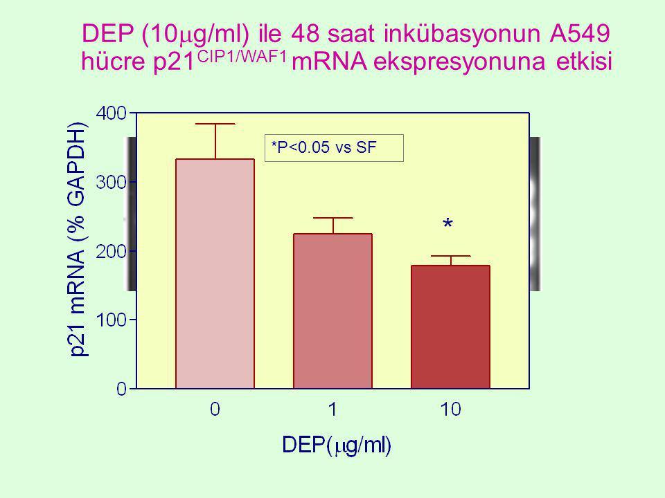 *P<0.05 vs SF DEP (10  g/ml) ile 48 saat inkübasyonun A549 hücre p21 CIP1/WAF1 mRNA ekspresyonuna etkisi