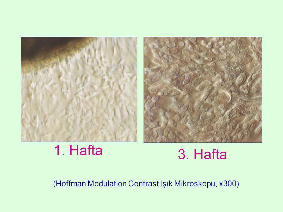 (Hoffman Modulation Contrast Işık Mikroskopu, x300) 1. Hafta 3. Hafta